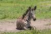 A zebra colt (Equus quagga) lying in a dust bath, Ngorongoro Caldera, Tanzania