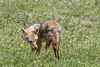 African golden wolf (Canis anthus bea) head towards camera, tongue out, in spring grasses, Ngororongoro Caldera, Tanzania