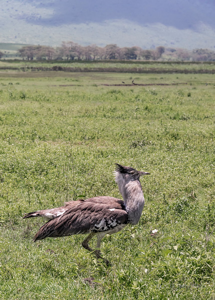 Kori bustard (Ardeotis kori) display, in a spring meadow, Ngorongoro crater, Tanzania