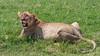 Resting lioness after a big meal, Ngorongoro Caldera, Tanzania