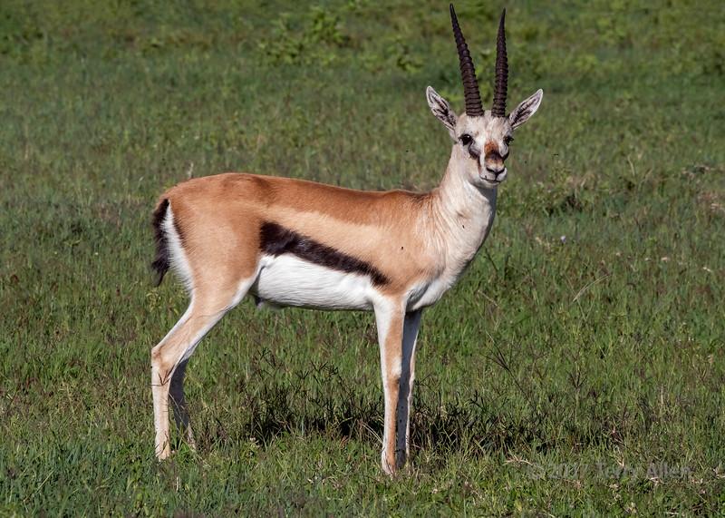 Thompson's gazelle (Eudorcas thomsonii) on alert in the fresh grass, Ngorongoro caldera, Tanzania