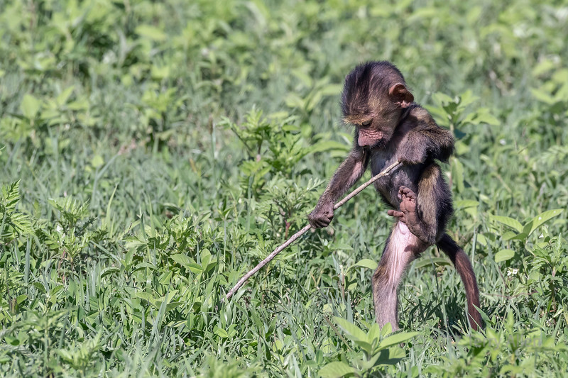 Baby baboon (Papio anubis) playing with a stick in the fresh grass, Ngorongoro Caldera, Tanzania
