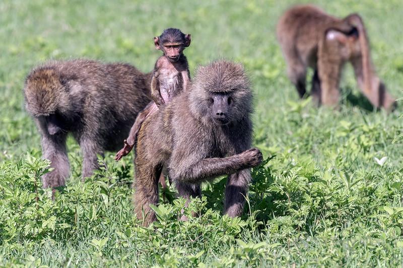 Foraging olive baboons (Papio anubis) with baby riding mom's back, Ngorongoro Caldera, Tanzania