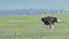 Male ostrich (Struthio camelus), Ngorongoro caldera  with the caldera rim in back, Tanzania