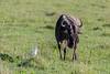 Dining with a friend, wildebeest (Connochaetes taurinus albojubatus) and cattle egret (Bubulcus ibis), Ngorongoro crater, Tanzania