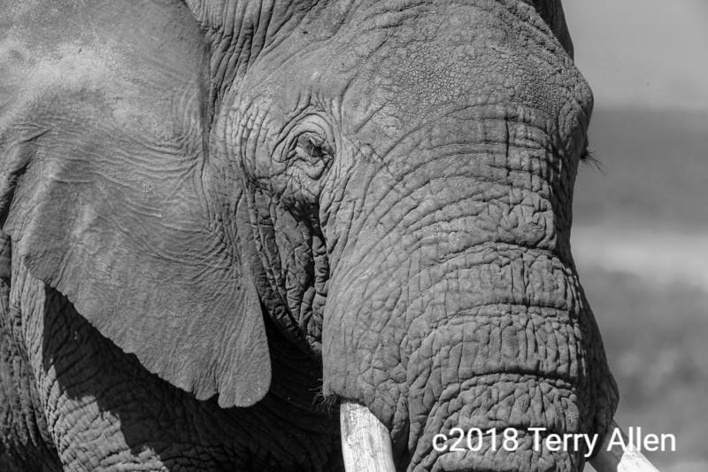 Portrait of a bull elephant, black and white, Ngorongoro Caldera, Tanzania