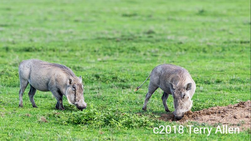 Pair of young wart hogs (Phacochoerus africanus) grazing on spring grasses, Ngorongogo crater, Tanzania