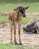 Newborn wildebeest (Connochaetes taurinus albajubatus) standing by its mother, Ngorongoro Caldera, Tanzania