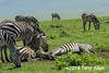 Eat, sleeep, repeat, young zebras at a dust bath, Ngorongoro Caldera, Tanzania
