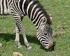 Black and white and green, grazing zebra close-up, Ngorongoro crater, Tanzania