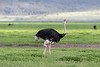 Male ostrich (Struthio camelus) with a full gullet, head up n the new spring grasses, Ngorongoro crater, Tanzania