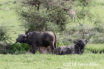 Cape buffalo and tick birds