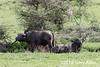 Cape buffalo and tick birds