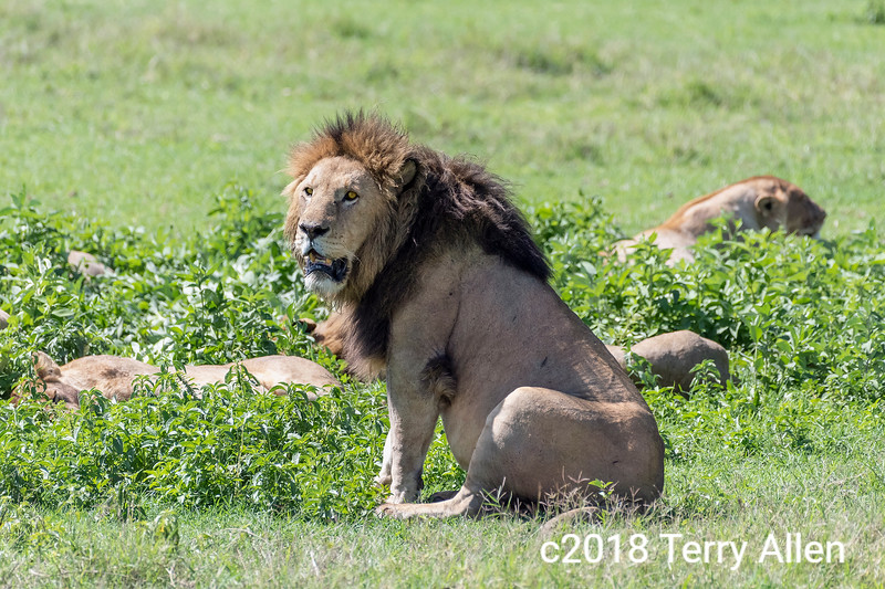 Large, recently gorged dominant male lion guarding a sleeping pride, Ngorongoro Caldera, Tanzania