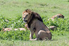 Large, recently gorged dominant male lion guarding a sleeping pride, Ngorongoro Caldera, Tanzania