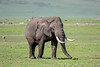Large elephant grazing on the spring grass, Ngorongoro Caldera, Tanzania