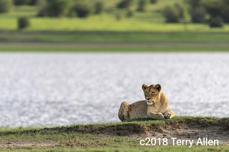 Older lion cub lying by a small lake, Ngorongoro crater, Tanzania