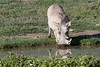 Large warthog (Phacochoerus africanus) reflected in a water hole, Ngorongoro caldera, Tanzania