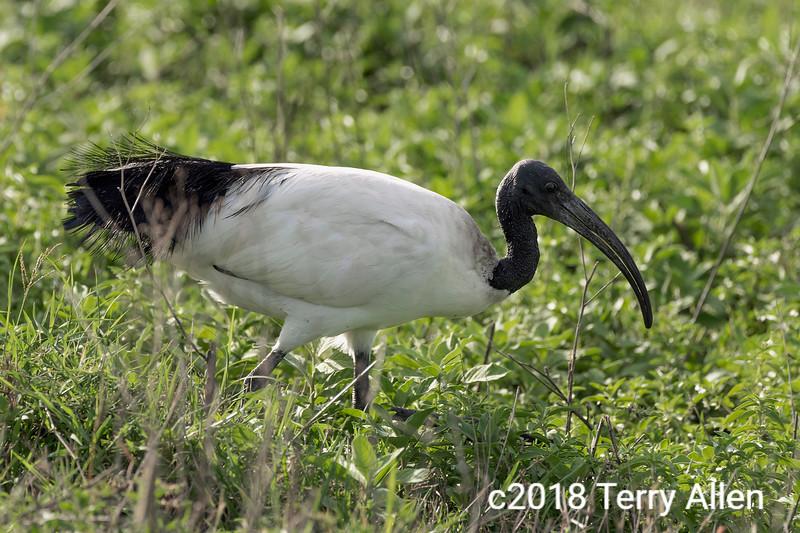 Sacred ibis (Threskiornis aethiopicus) hunting for invertebrates in the spring grass, Ngorongoro crater, Tanzania