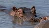 Large semi-submerged hippo and small hippo, Mandusi Hippo Pool, Ngorongoro Caldera, Tanzania