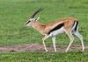 Male Thompson's gazelle (Eudorcas thomsonii) walking in the fresh grass during the rainy season, Ngorongoro crater, Tanzania