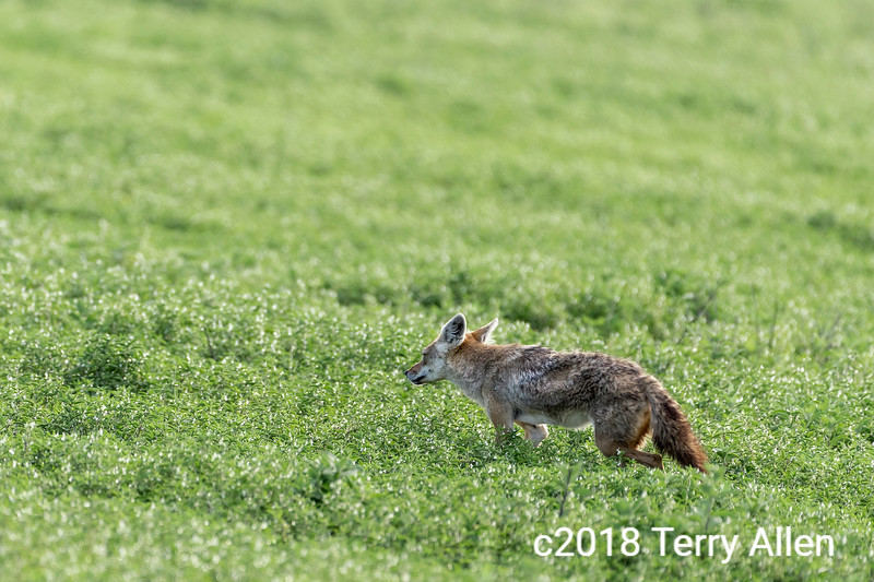 African golden wolf (Canis anthus) in the new grasses, Ngorongoro crater, Tanzania