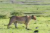Well-fed lioness stalking across the crater floor, Ngorongoro crater, Tanzania
