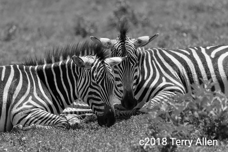 Buddies, two young zebra sleeping with heads together in a dust bath, Ngorongoro Crater, Tanzania