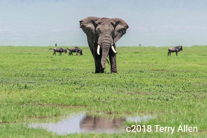 Large bull elephant approaching a water hole, Ngorongoro Caldera, Tanzania