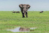 Large bull elephant approaching a water hole, Ngorongoro Caldera, Tanzania