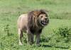 Black-maned lion with well-stuffed stomach, Ngorongoro Caldera, Tanzania