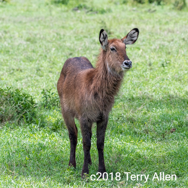 Young waterbuck, (Kobus ellipsiprymnus) in Ngorongoro Caldera, Tanzania
