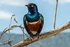 Superb starling (Lamprotonic superbus) posing on a branch, Ngorongoro Caldera, Tanzania