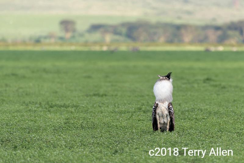 Kori bustard (Ardeotis kori) display, spring grasses, Ngorongoro crater, Tanzania