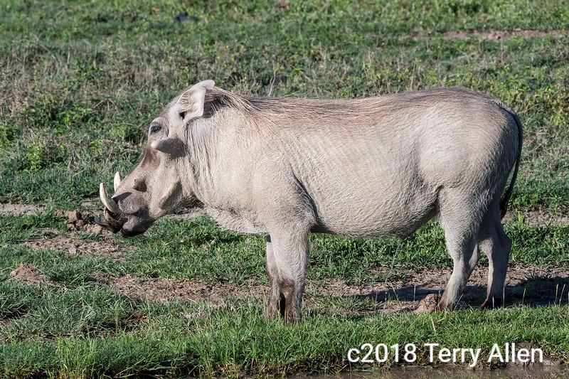 Large warthog (Phacochoerus africanus) standing by a water hole, Ngorongoro caldera, Tanzania