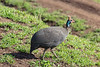 Portrait of a helmeted guinea fowl (Numida meleagris) in fresh grass, Ngorongoro Caldera, Tanzania