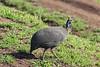 Portrait of a helmeted guinea fowl (Numida meleagris) in fresh grass, Ngorongoro Caldera, Tanzania