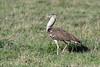 Kori bustard (Ardeotis kori) in the spring grasses, Ngorongoro caldera, Tanzania
