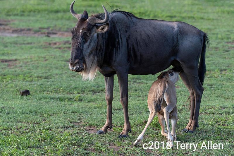 Wildebeest  (Westen white-bearded gnu, Connochaetes taurinus albojubatus) nursing her calf, Ngorongoro crater, Tanzania
