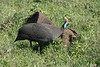 Helmeted guineafowl (Numida meleagris) by a termite nest in green grass, Ngorongoro crater, Tanzania