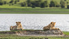 Pair of lion cubs relaxing on a mound by a small lake, Ngorongoro crater, Tanzania