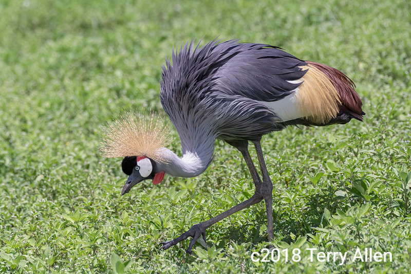 Grey crowned crane (Balearaica regulorullm) feeding in the spring grasses, Ngorongoro Caldera, Tanzania