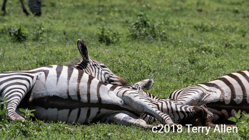 Three heads are better than one, young zebras sleeping in a dust bath, Ngorongoro Crater, Tanzania