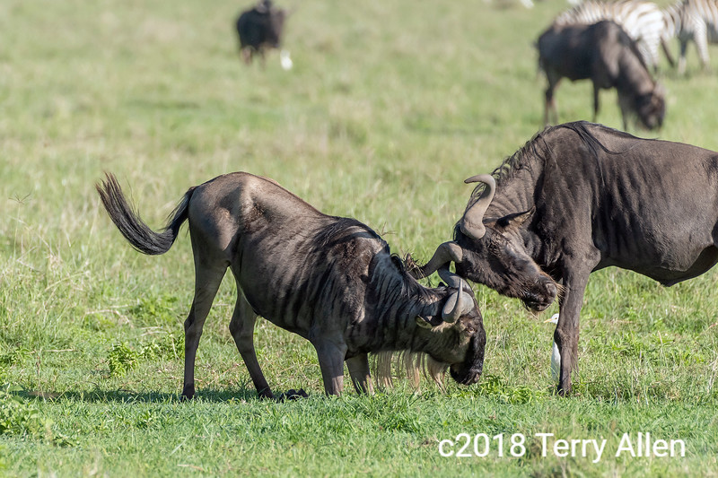 Sparring match between two Cape buffalo with cattle egret referee, Ngorongoro caldera, Tanzania