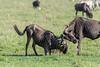 Sparring match between two Cape buffalo with cattle egret referee, Ngorongoro caldera, Tanzania