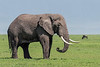 Large bull elephant with a nice set of tusks feeding on the spring grasses, Ngorongoro Caldera, Tanzania