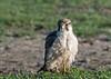 Young lanner falcon (Falco biarmicus), Ngorongoro crater, Tanzania