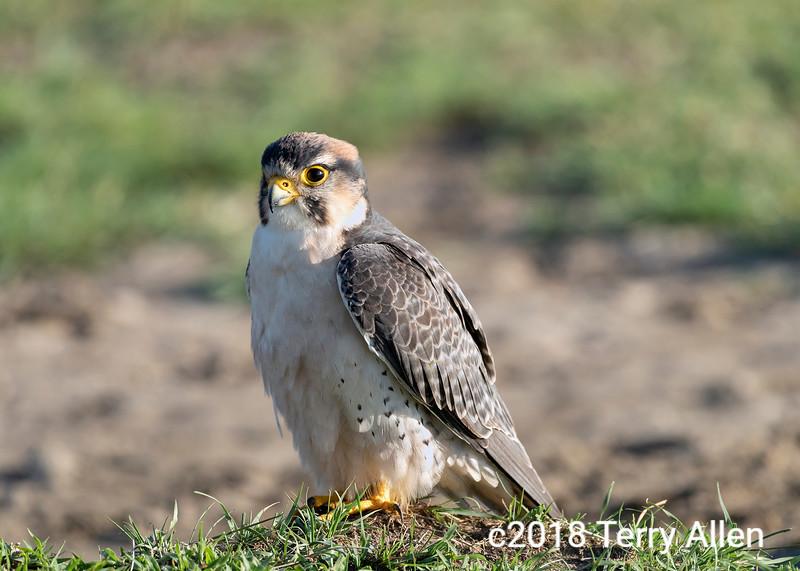 Lanner falcon (Falco biarmicus) in green grass, Ngorongoro crater, Tanzania