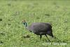Helmeted guineafowl (Numida meleagris) in green grass, Ngorongoro crater, Tanzania
