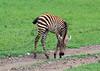 Baby zebra in the fresh grass, Ngorongoro crater, Tanzania